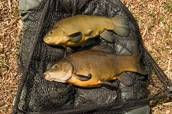 Brace of tench 8.4lb and 5.10lb