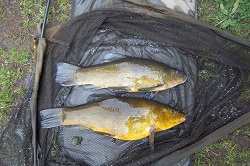 Brace of tench 5lb and 6lb
